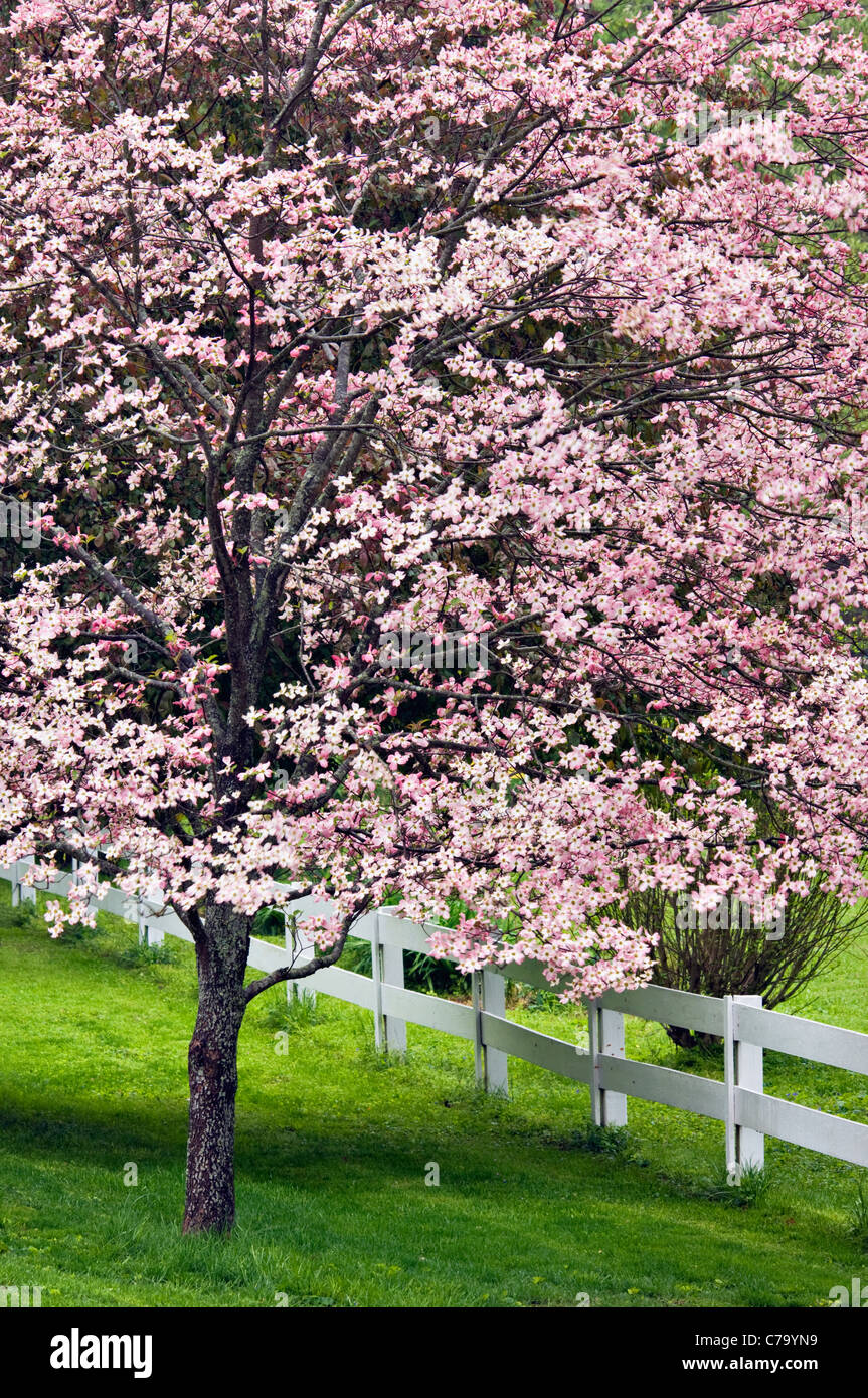 Blooming pink dogwood tree and white fence in floyd county blooming pink dogwood tree and white fence in floyd county indiana baanklon Gallery