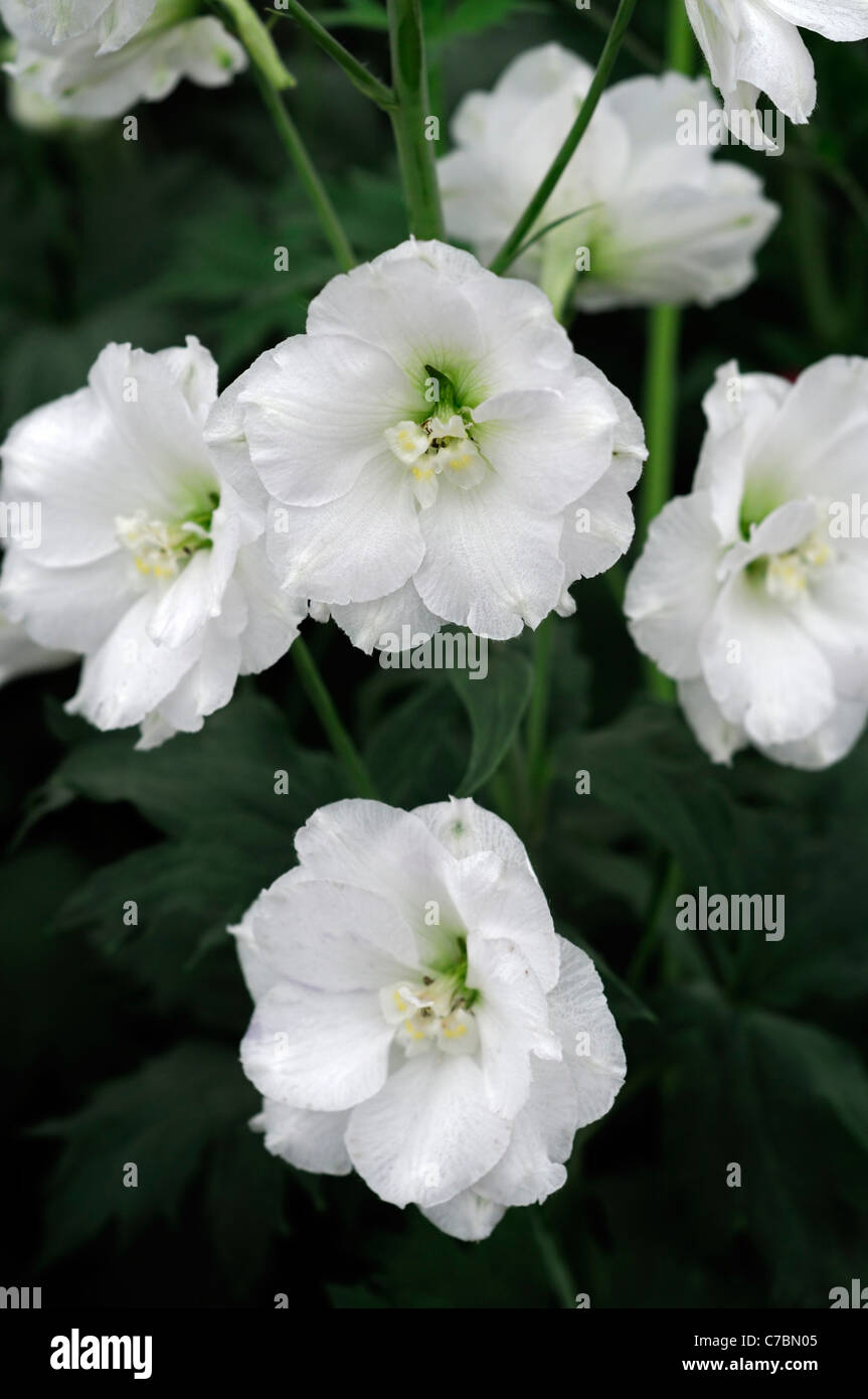 Delphinium densiflorum diamante white flower herbaceous perennial stock photo delphinium densiflorum diamante white flower herbaceous perennial tall erect flower spike inflorescence flowers pedicel dhlflorist Image collections