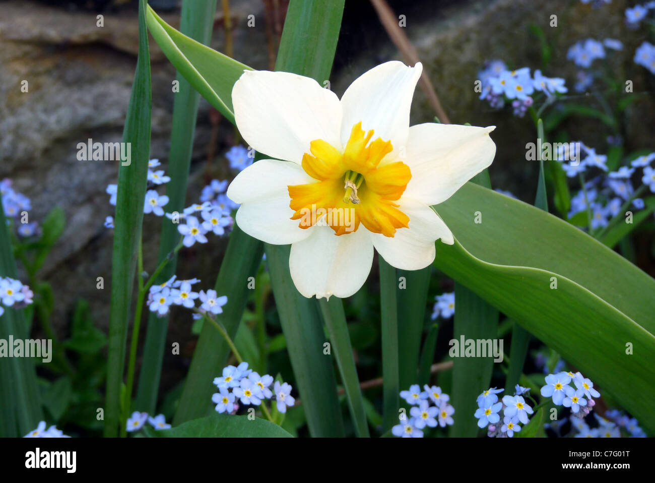 Spring flowers of daffodils and forget me nots blooming in garden spring flowers of daffodils and forget me nots blooming in garden near rock wall new england vermont dhlflorist Choice Image