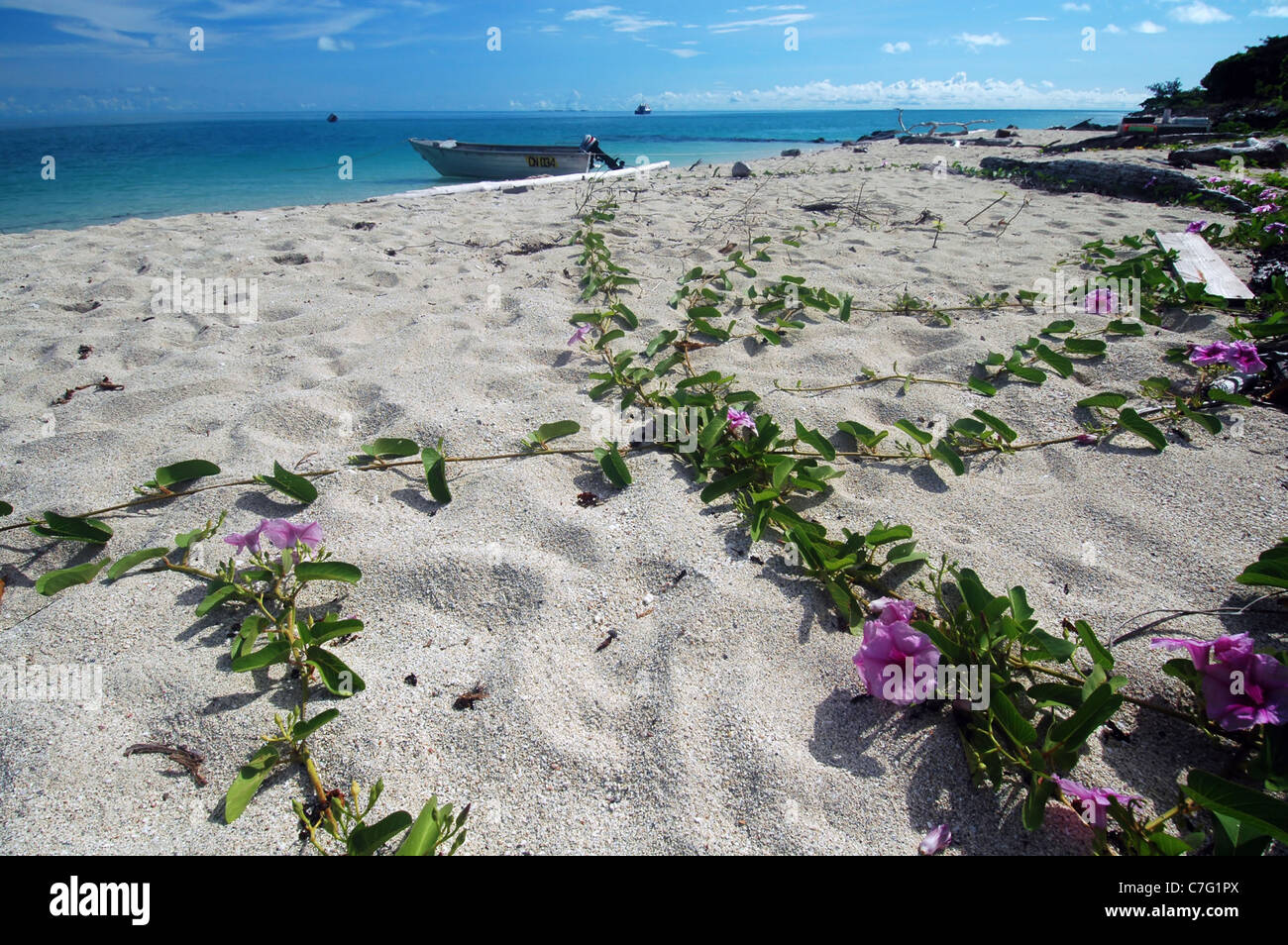 Coconut Island Queensland: Beach Morning Glory (Ipomoea Pes-caprae) Flowering At