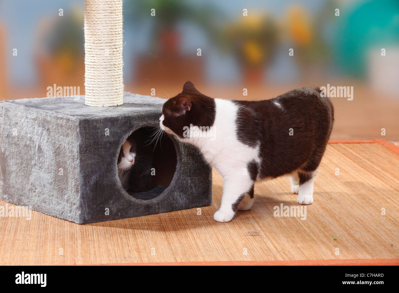 British Shorthair Cat, chocolate-white and blue-white, one in hole ...