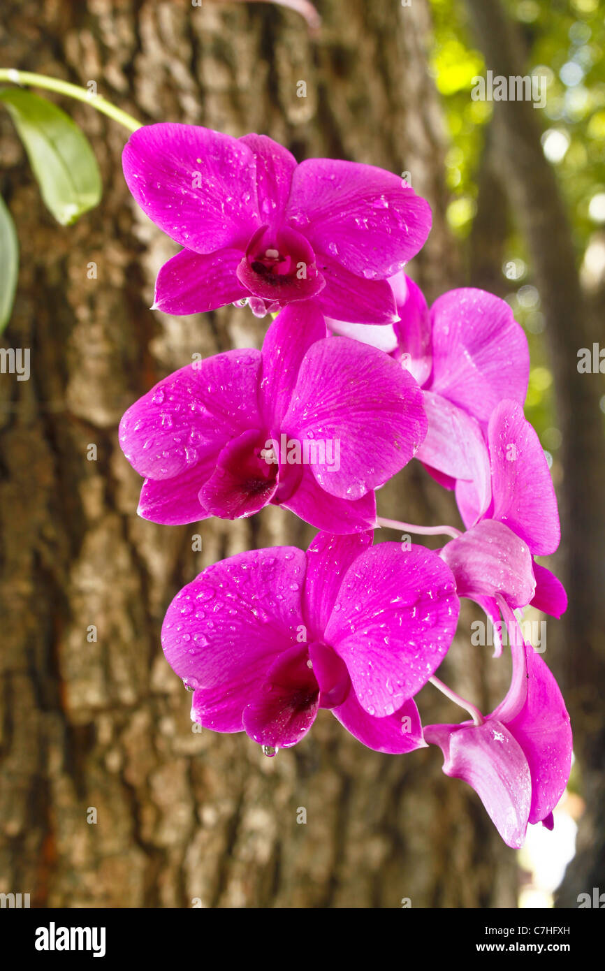 orchid tree white stock photos u0026 orchid tree white stock images