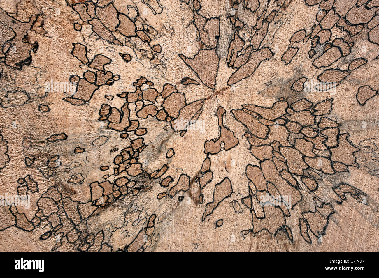 Spalted Beech Wood ~ Spalted beech showing tracks of fungi growing in the wood