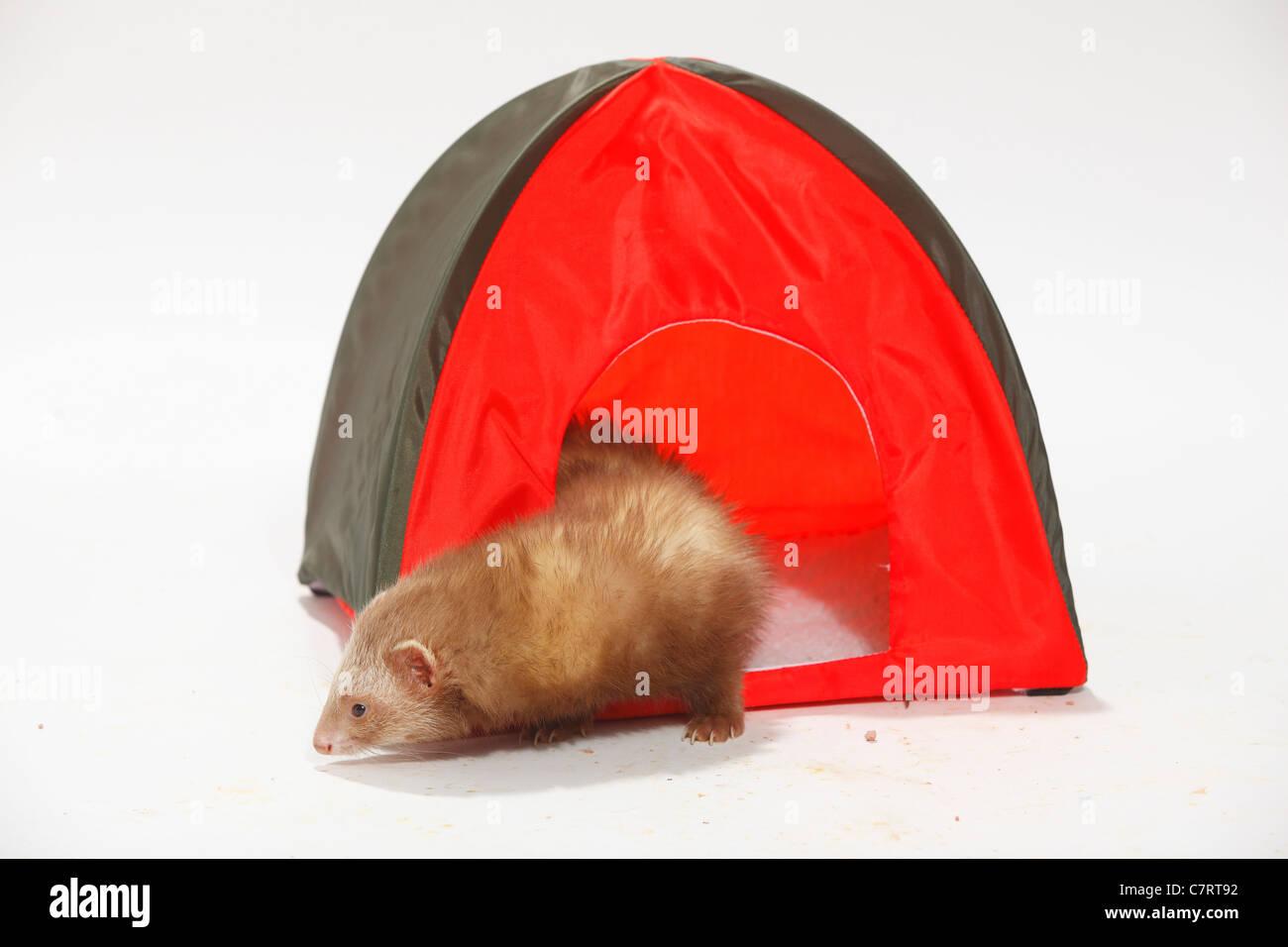 Ferret / (Mustela putorius forma domestica) / tent & Ferret / (Mustela putorius forma domestica) / tent Stock Photo ...