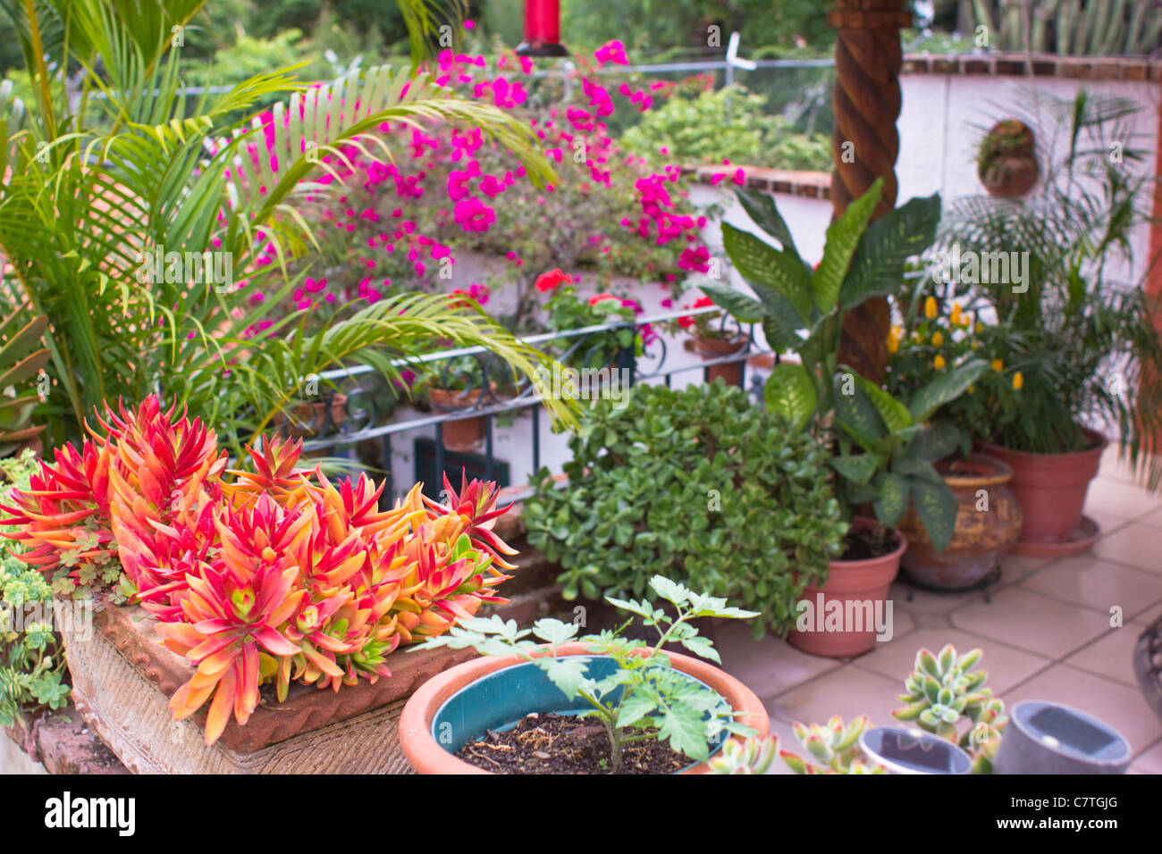 Plants for rooftop gardens - Potted Plants Tropical Flowers Rooftop Garden Ajijic Jalisco Mexico Latin America
