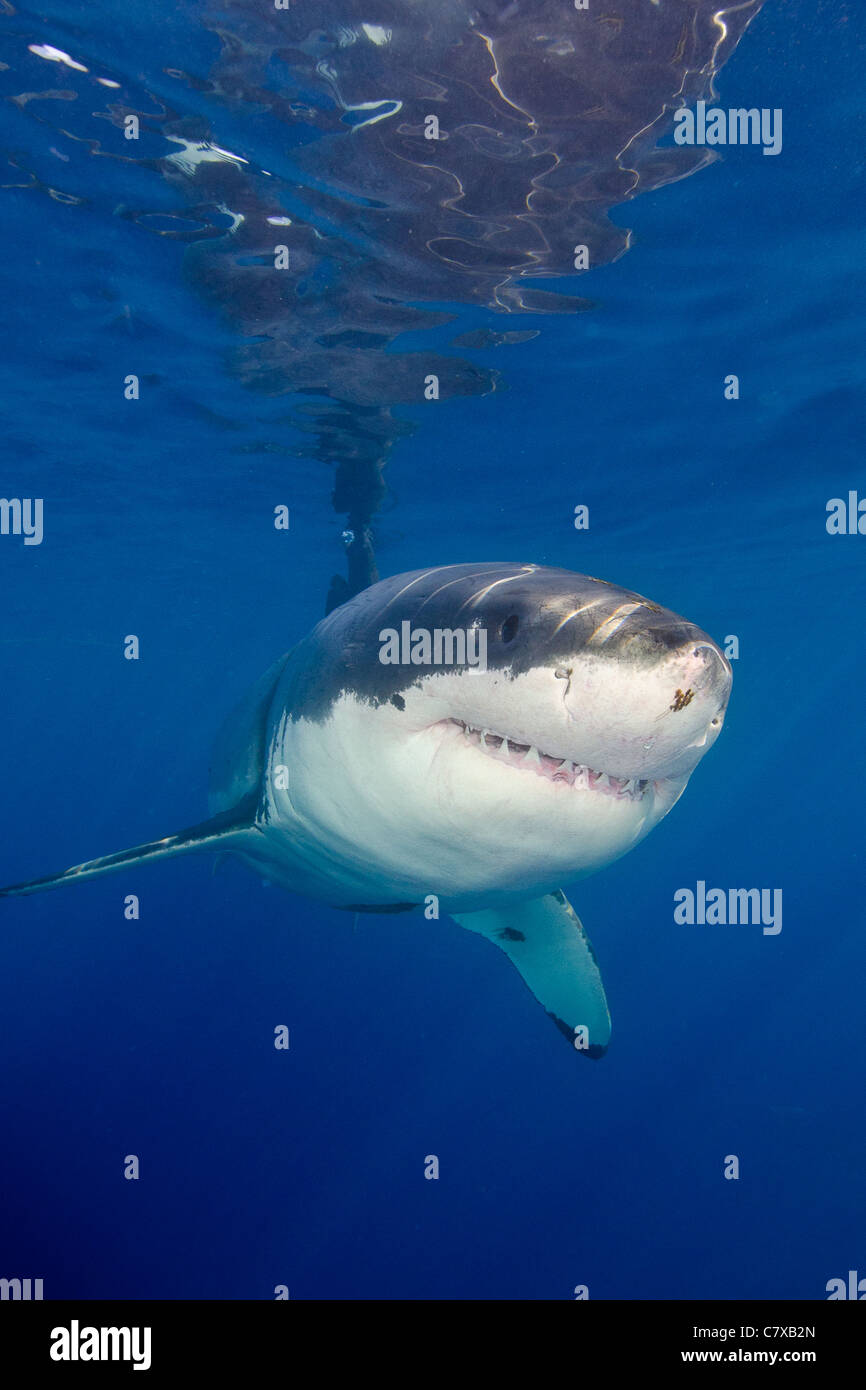 Great white shark in blue water underwater guadalupe for Guadalupe island fishing
