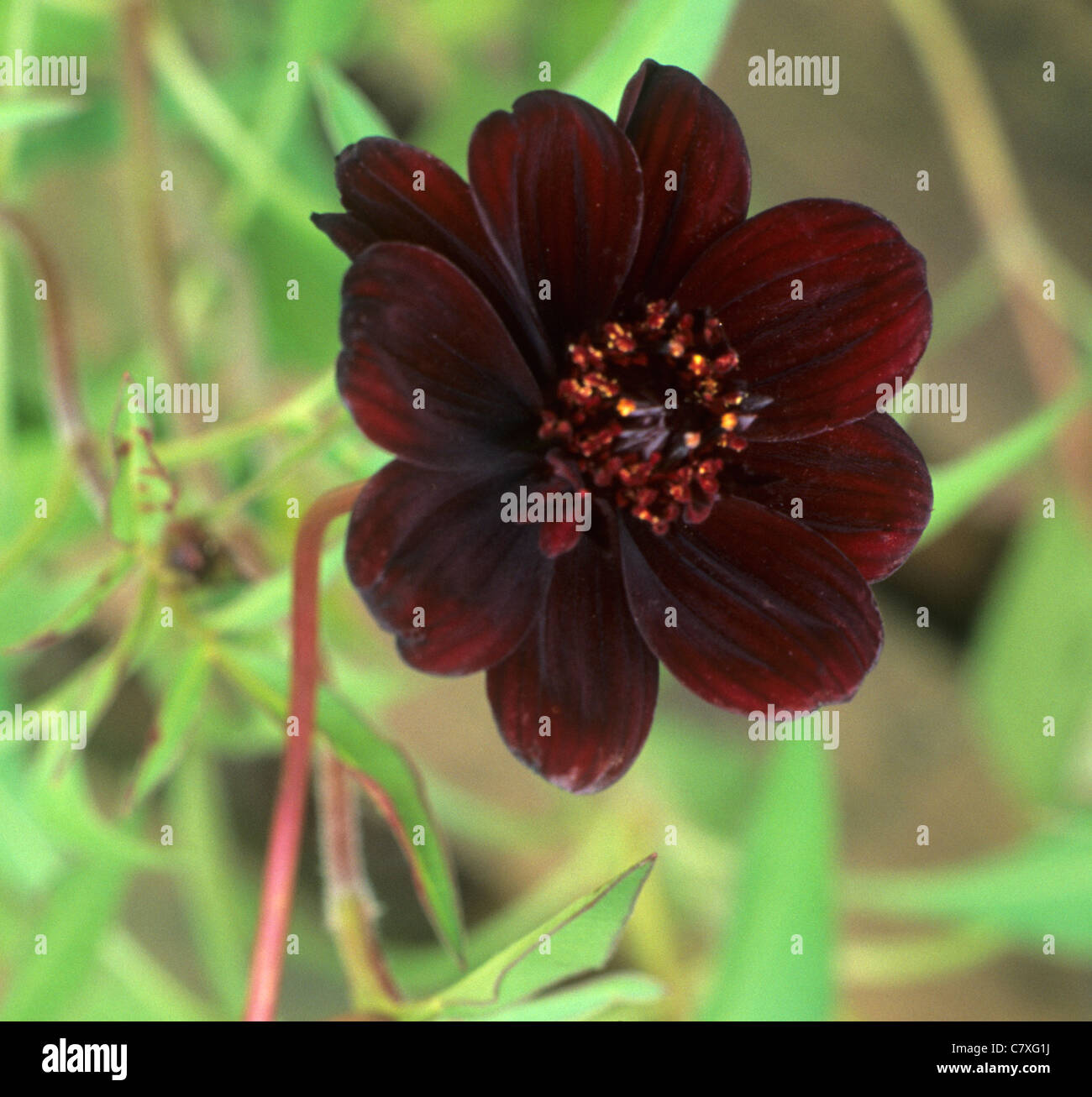 Cosmos Atrosanguineus Chocolate Stock Photos & Cosmos ...