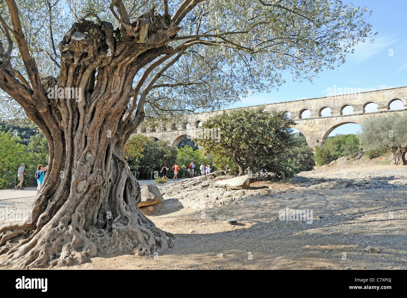 old olive tree ancient roman aqueduct bridge called pont du gard