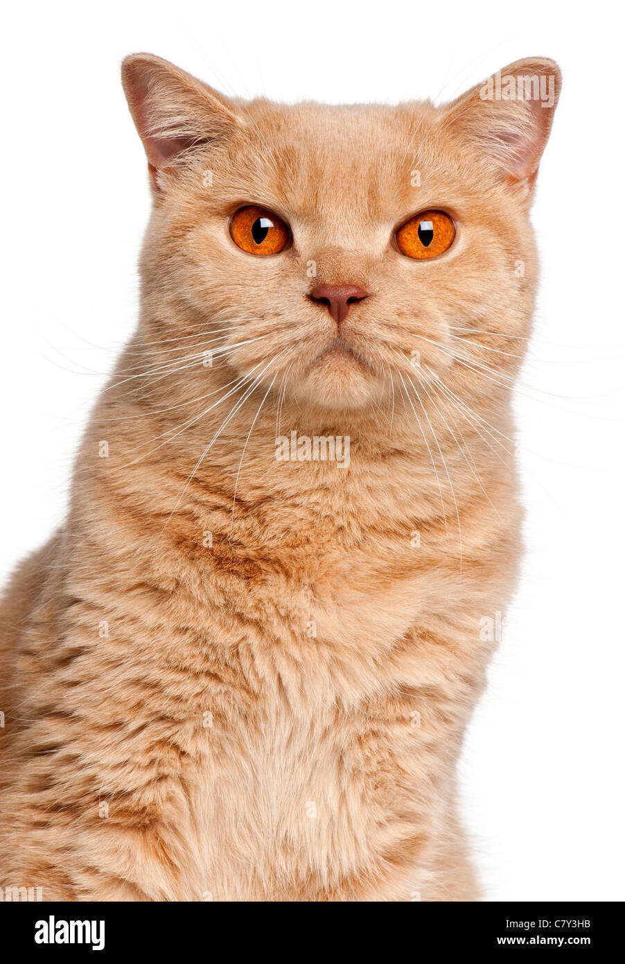 Close up of British Shorthair cat 1 year old in front of white