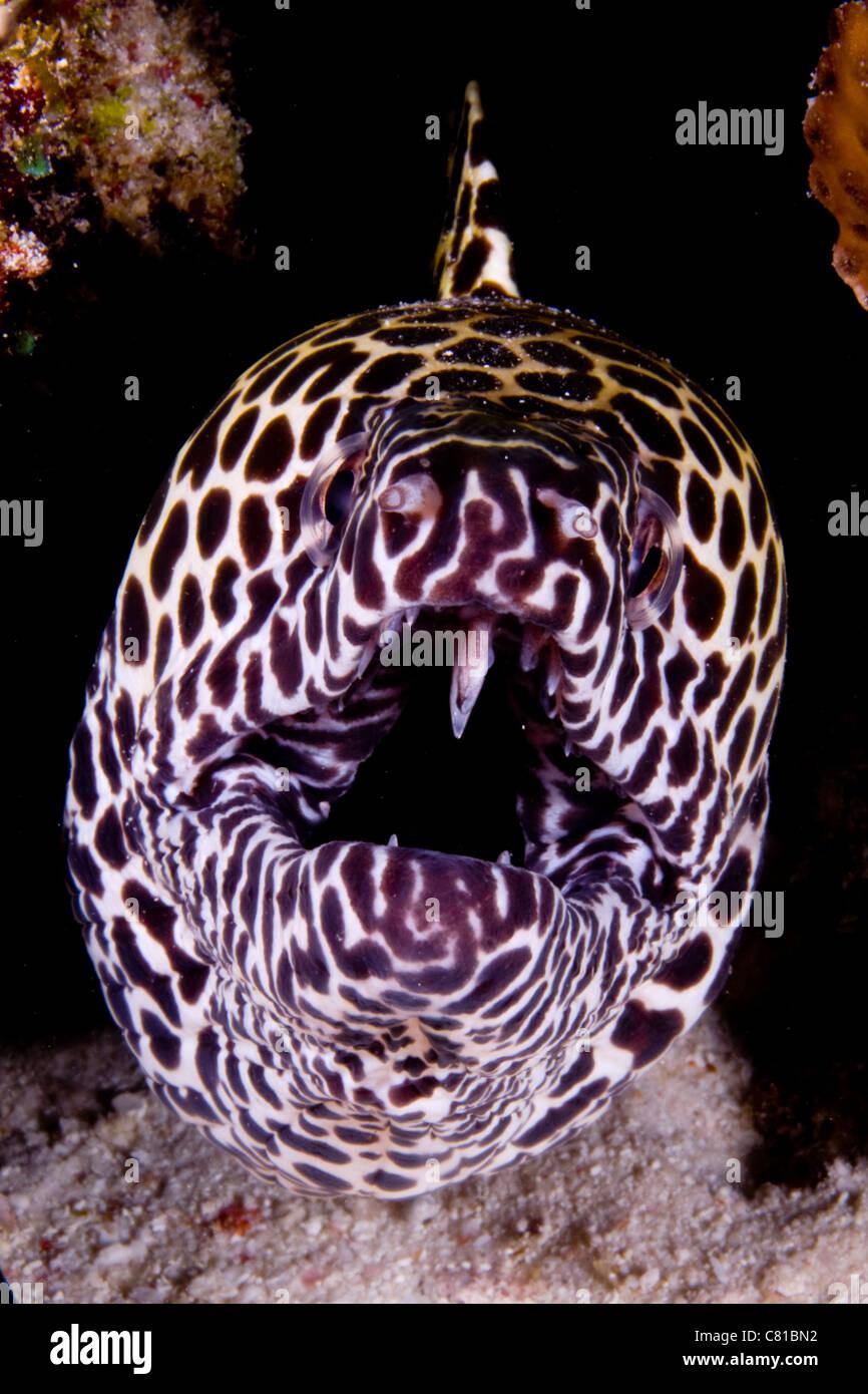 sharp teeth. maldives, underwater sea life and fish, moray eel, jaw, sharp teeth, teeth