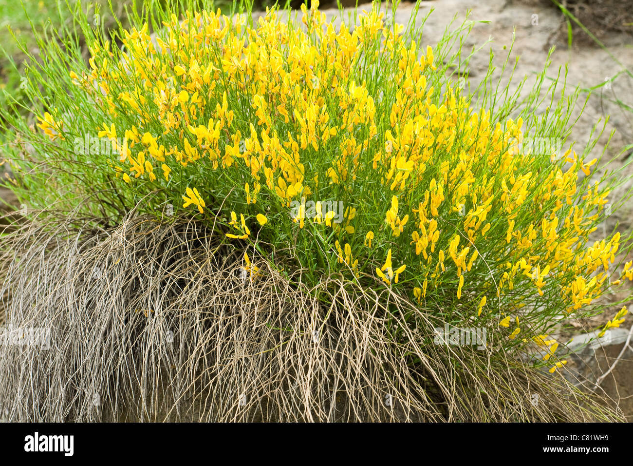 Yellow mountain flower best mountain 2018 mountains mountain flowers zachod drzewa gory slonca kwiaty sunrise skyrim yellow mountain flower mightylinksfo Images