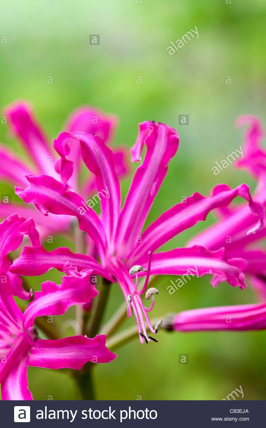 Nerine bowdenii isabel fall autumn flower bulb deep pink october nerine bowdenii isabel fall autumn flower bulb deep pink october sunny border garden plant mightylinksfo Gallery