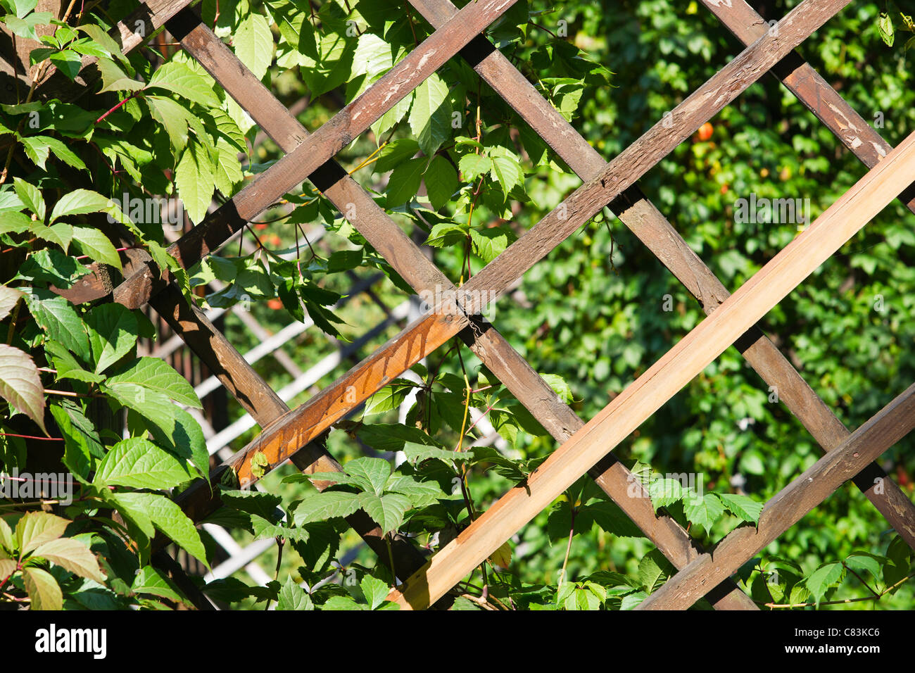 Close Up View Of A Garden Trellis. Wooden Planks And Green Leaves Open To  Sunshine