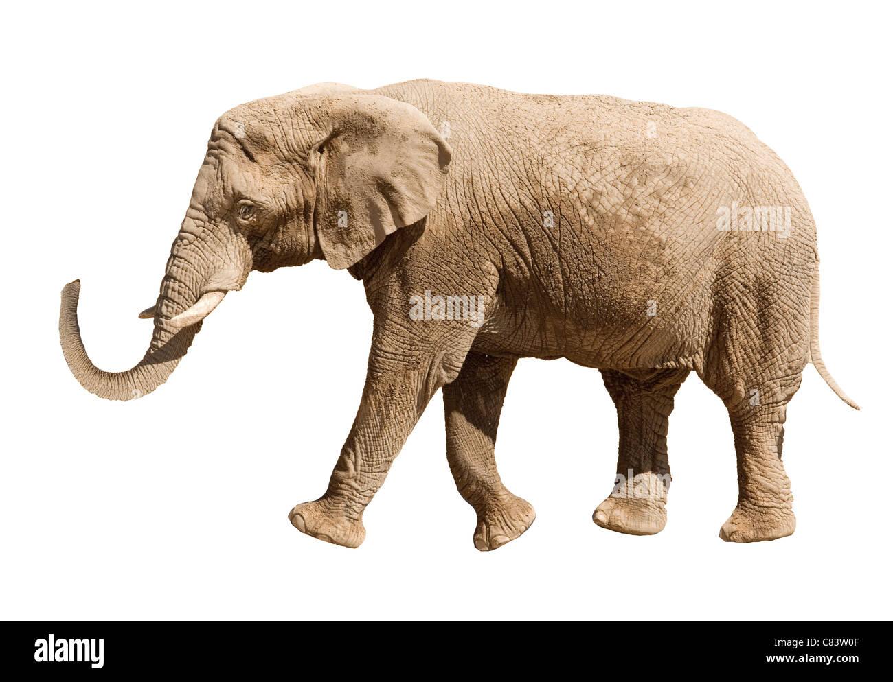 big elephant isolated on white background stock photo