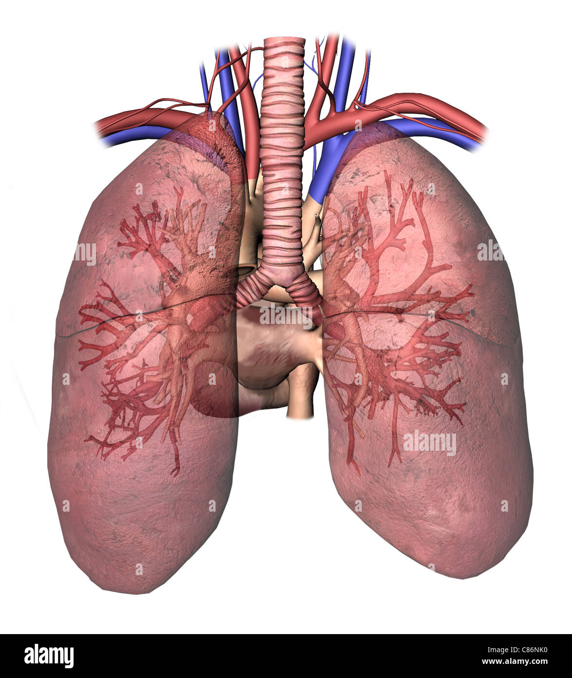 heart and lungs This lesson discusses how the heart and lungs may cause one another problems  when one or the other becomes sick or damaged namely, we will discuss.