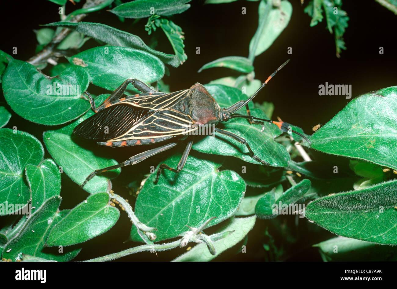 True Bug Leaf Footed Bug Stock Photos & True Bug Leaf Footed Bug ...
