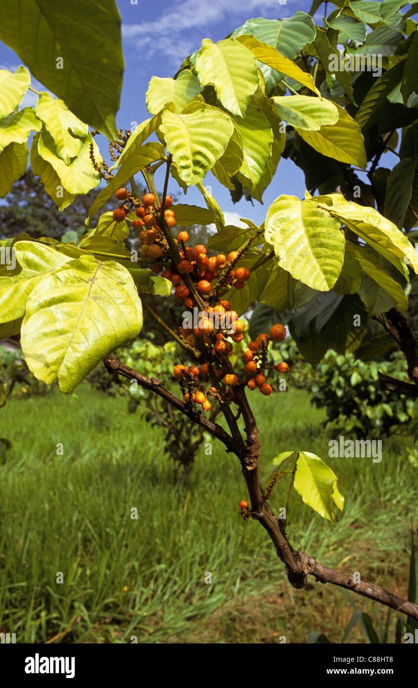 Amazon Brazil Guarana Paullinia Cupana Fruit With