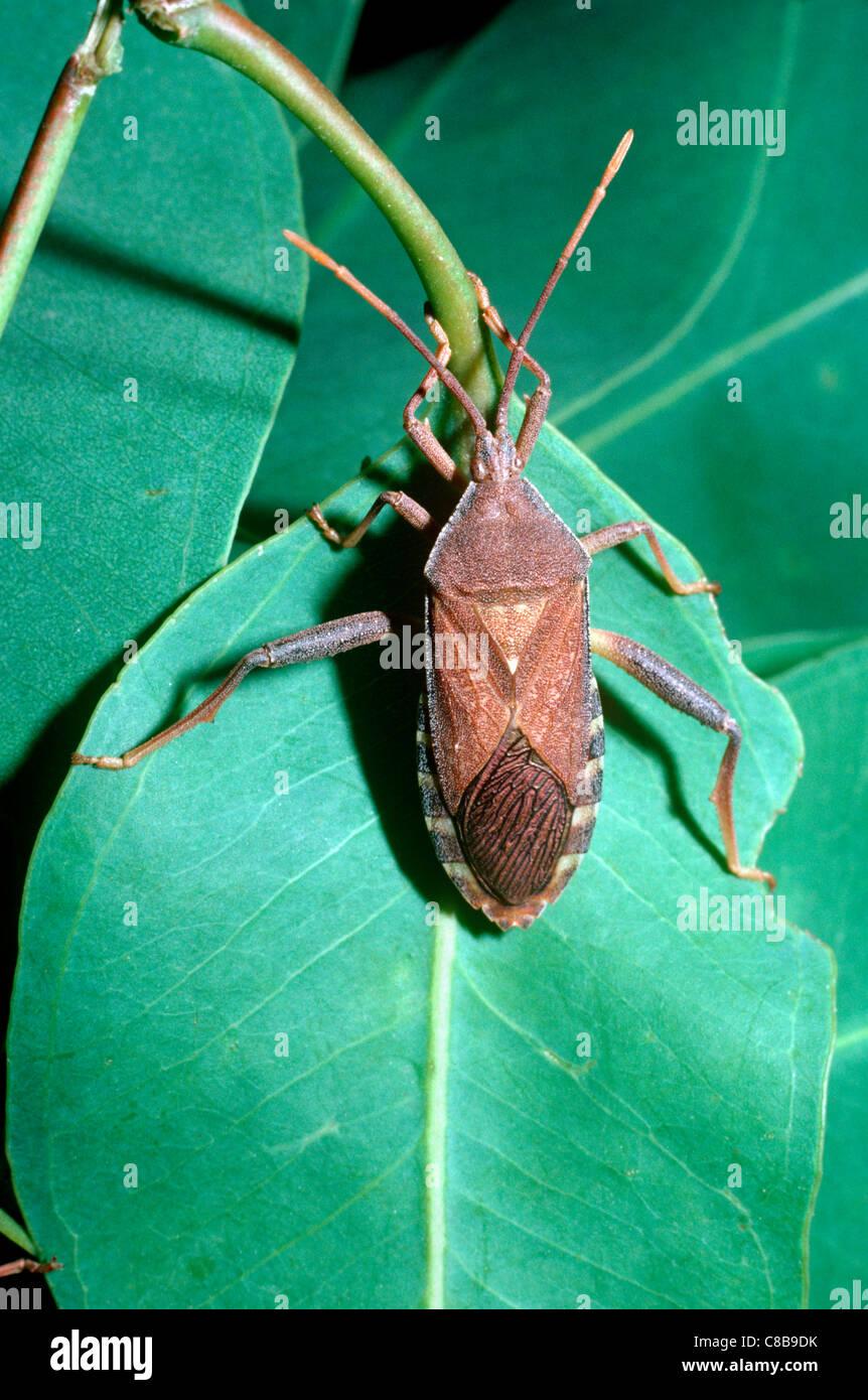 Eucalyptus Tip Bug / Leaf-footed bug (Amorbus sp.: Coreidae ...