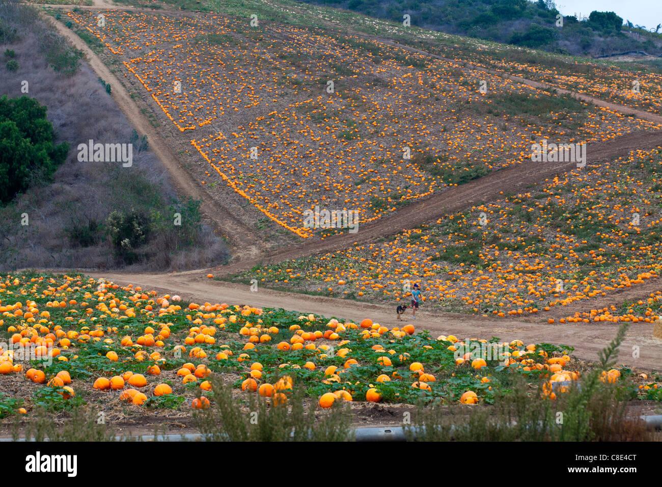 a-pumpkin-patch-near-oxnard-california-C8E4CT.jpg