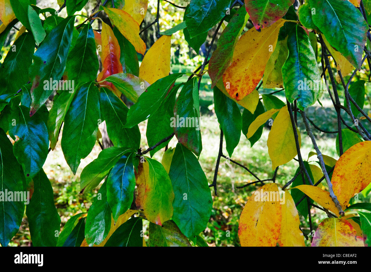 Leaves changing colours in Autumn, Surrey, United Kingdom Stock ...
