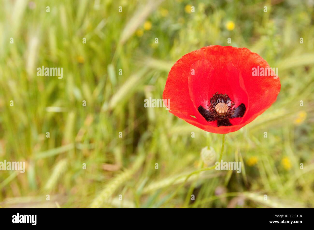 Red poppy flower cappadocia turkey stock photo 39670296 alamy red poppy flower cappadocia turkey mightylinksfo