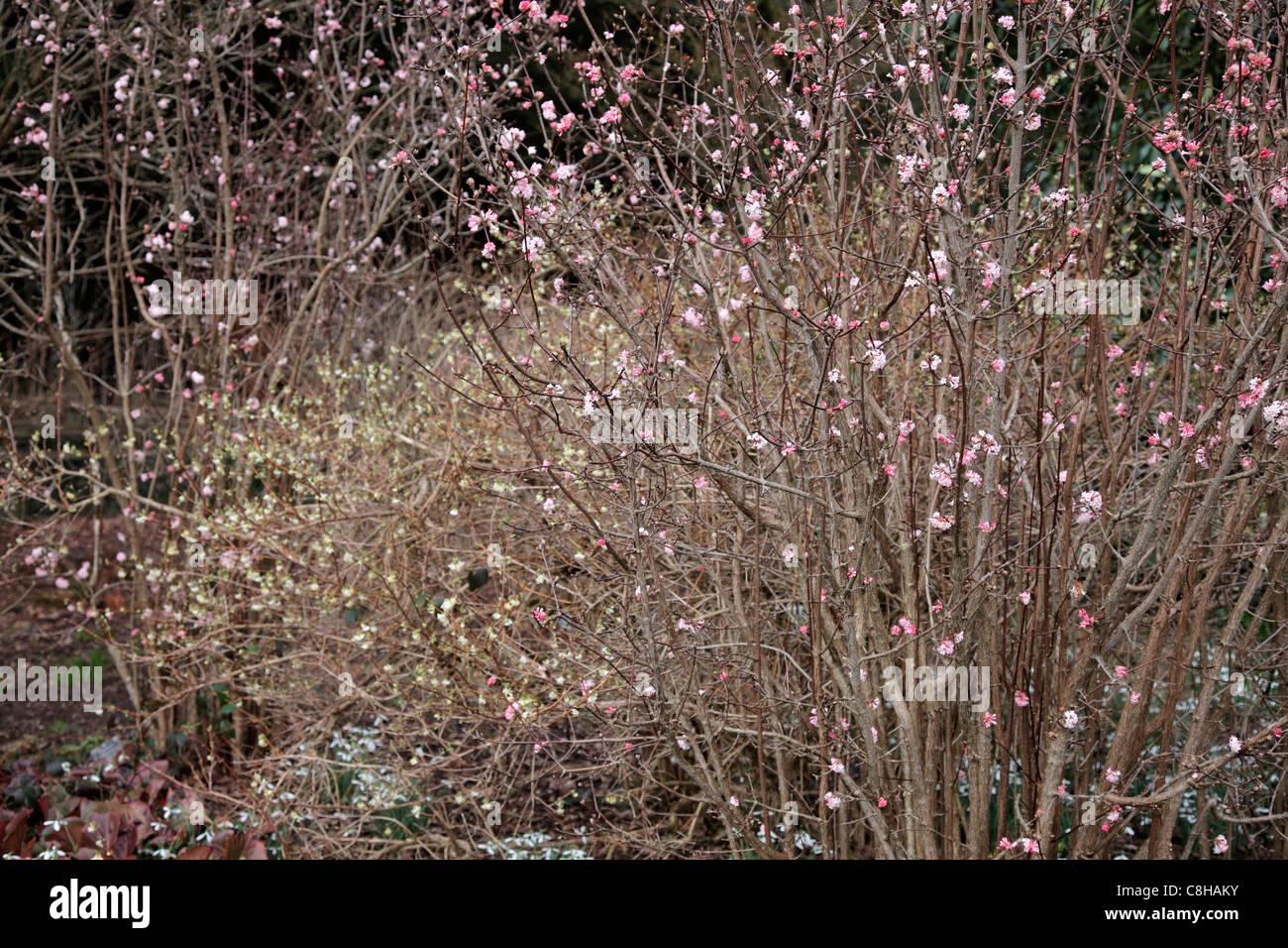 lonicera x purpusii 39 winter beauty 39 agm and viburnum x. Black Bedroom Furniture Sets. Home Design Ideas