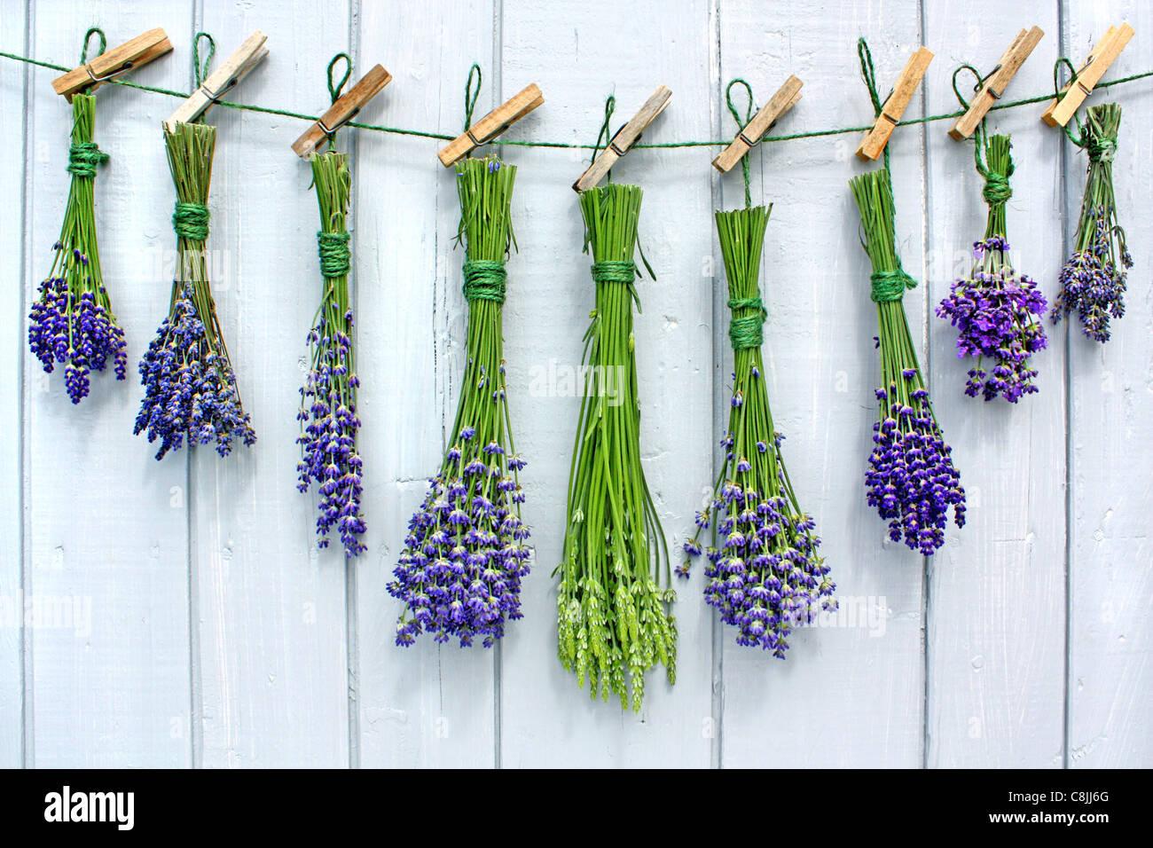 lavender-C8JJ6G.jpg