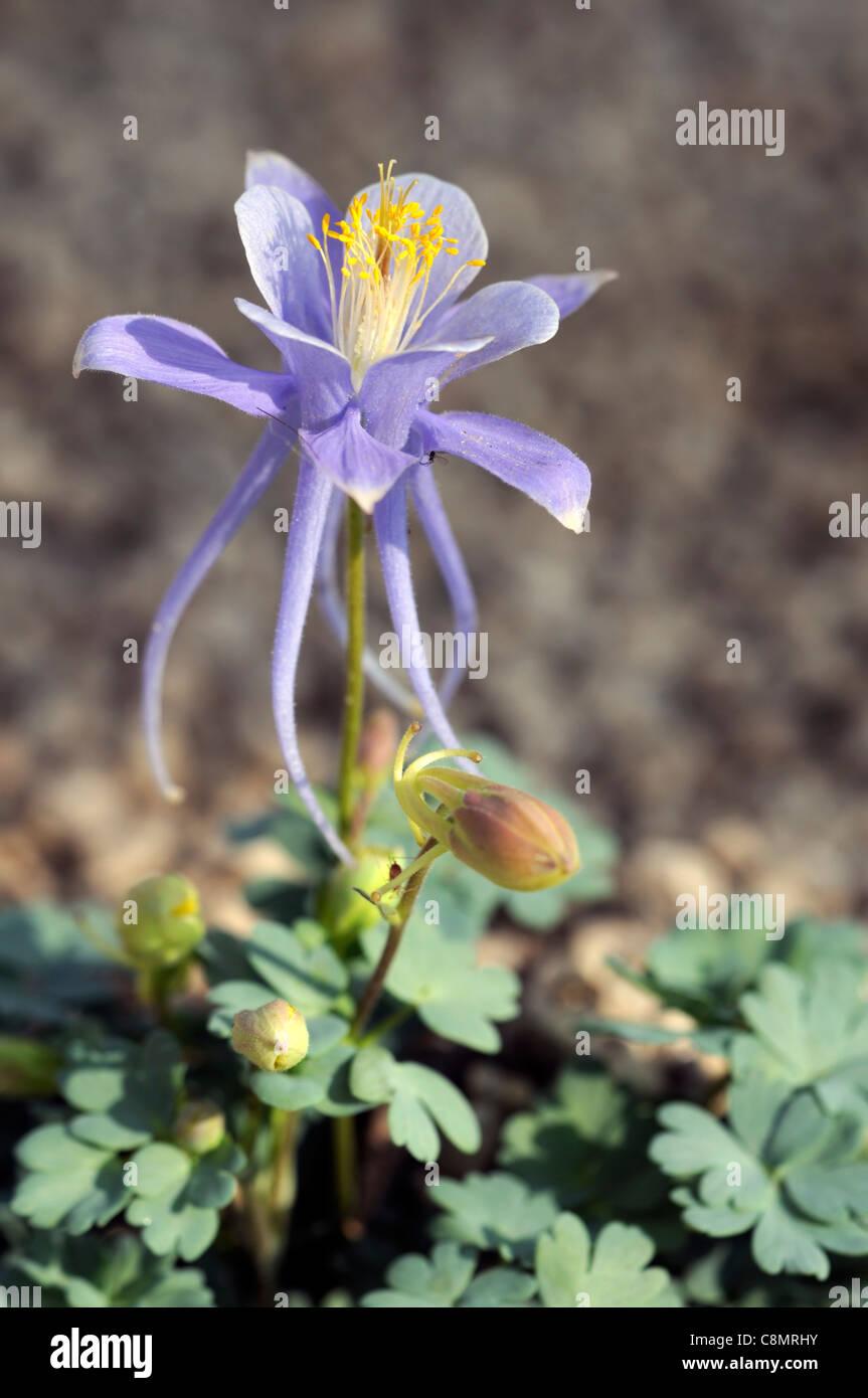 Utah columbine aquilegia scopulorum blue flower dwarf short small stock photo utah columbine aquilegia scopulorum blue flower dwarf short small long spurred spurs alpine sub alpine herbaceous perennial dhlflorist Images