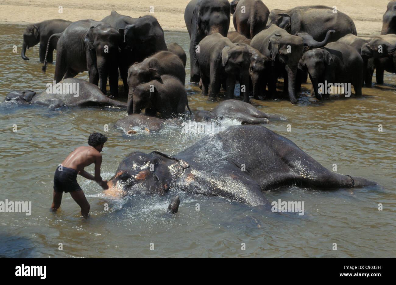Asian Elephant Endangered Species
