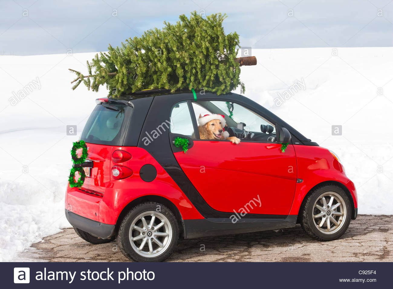 Red Smart Car With A Christmas Tree On Top And Golden Retriever  - Christmas Tree On Car