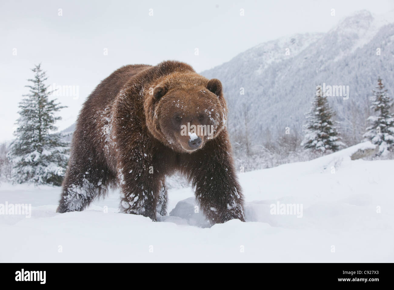 adult brown bear walking through fresh snow at the alaska. Black Bedroom Furniture Sets. Home Design Ideas