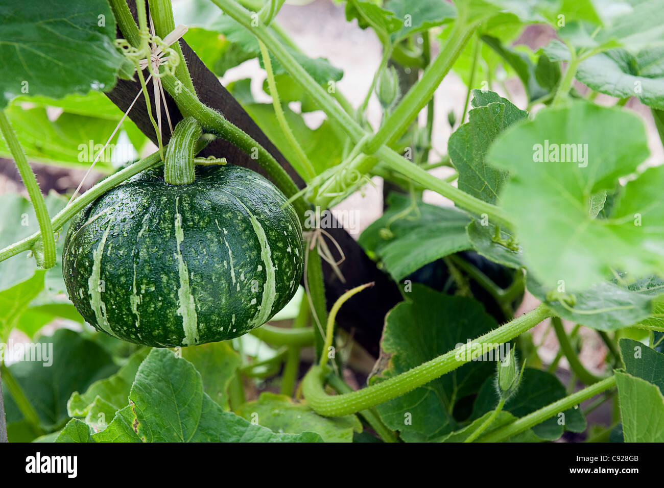 how to grow kabocha squash from seeds