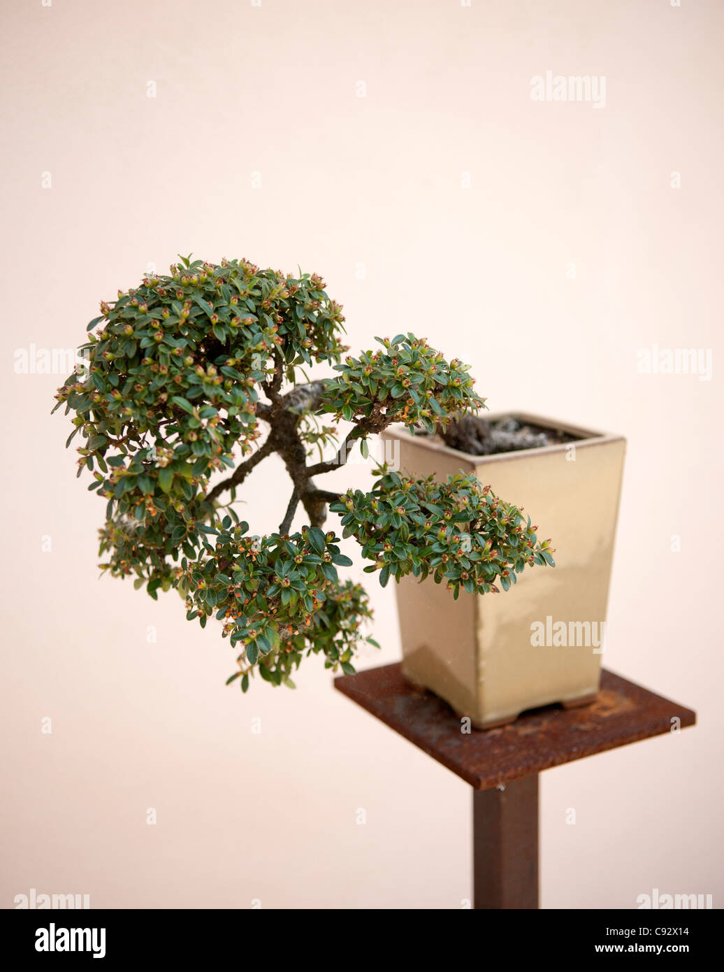 Growing Bonsai Trees Stock Photos Amp Growing Bonsai Trees Stock