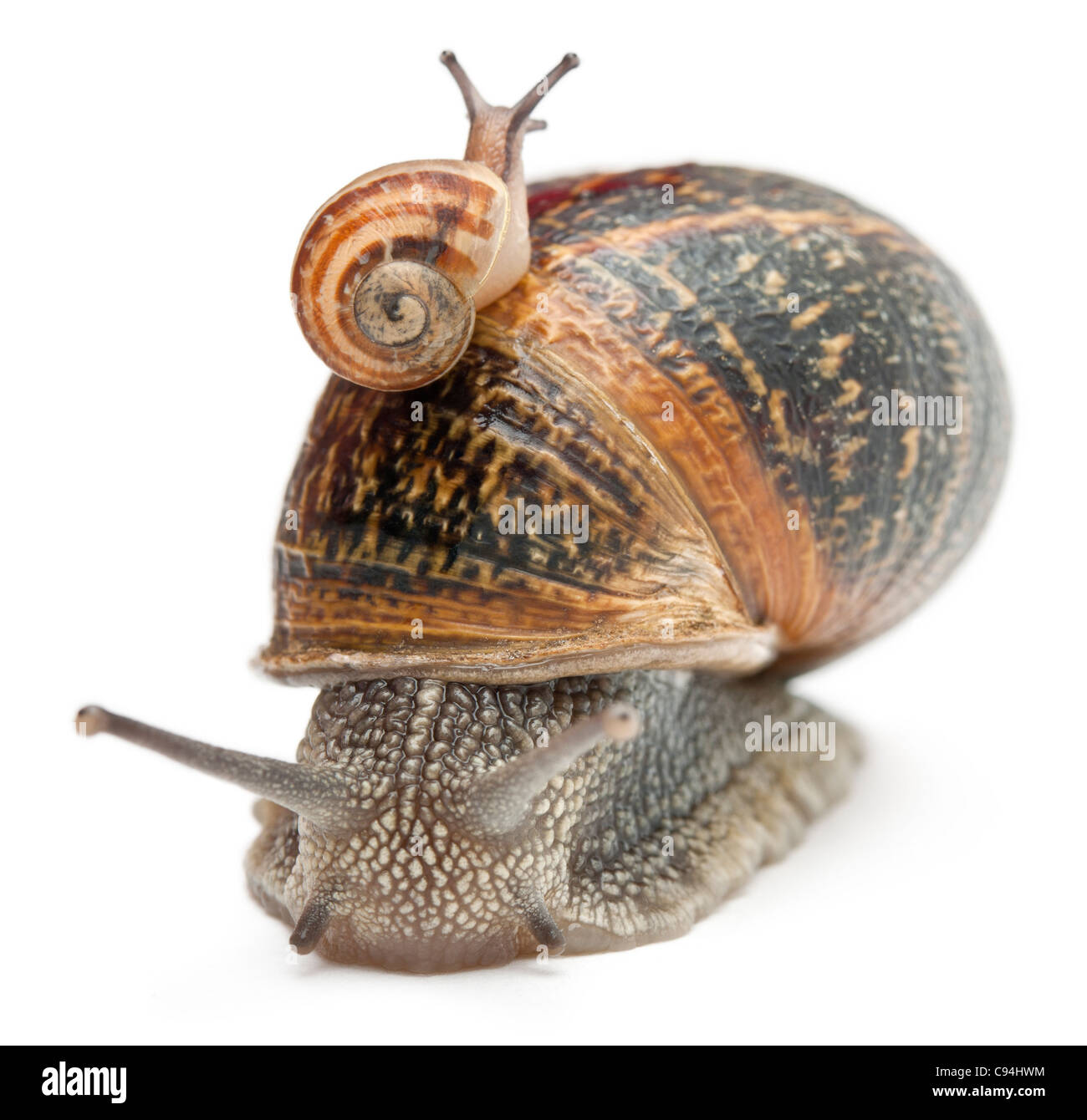 baby snail stock photos u0026 baby snail stock images alamy