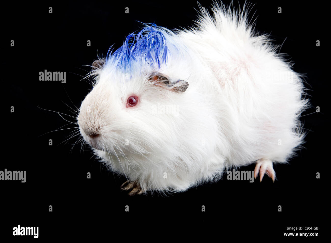 Cute White Albino Guinea Pig With Blue Mohawk Styled Fur