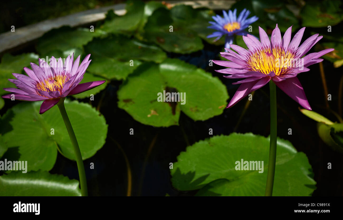 Three water lilies in an ornamental pond setting thailand for Ornamental pond plants