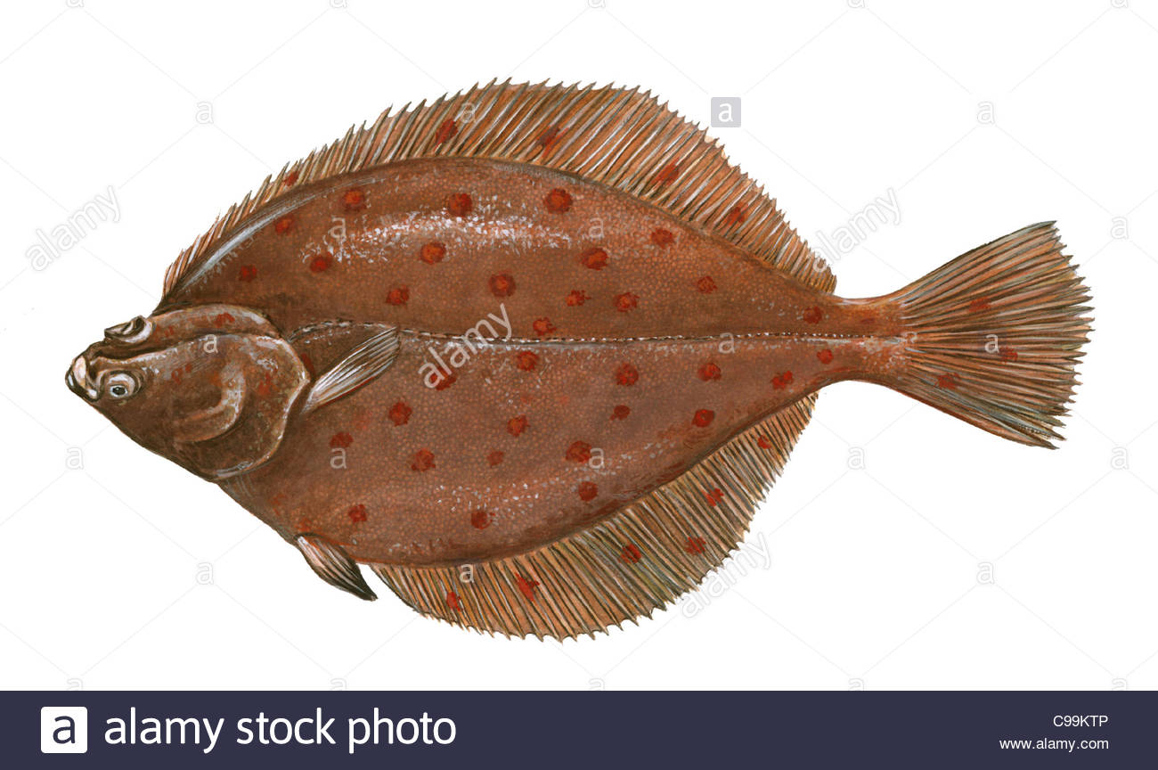 Series fish plaice Plaice Pleuronectes platessa fish fish pisces Stock ... Zoology Pictures Animals