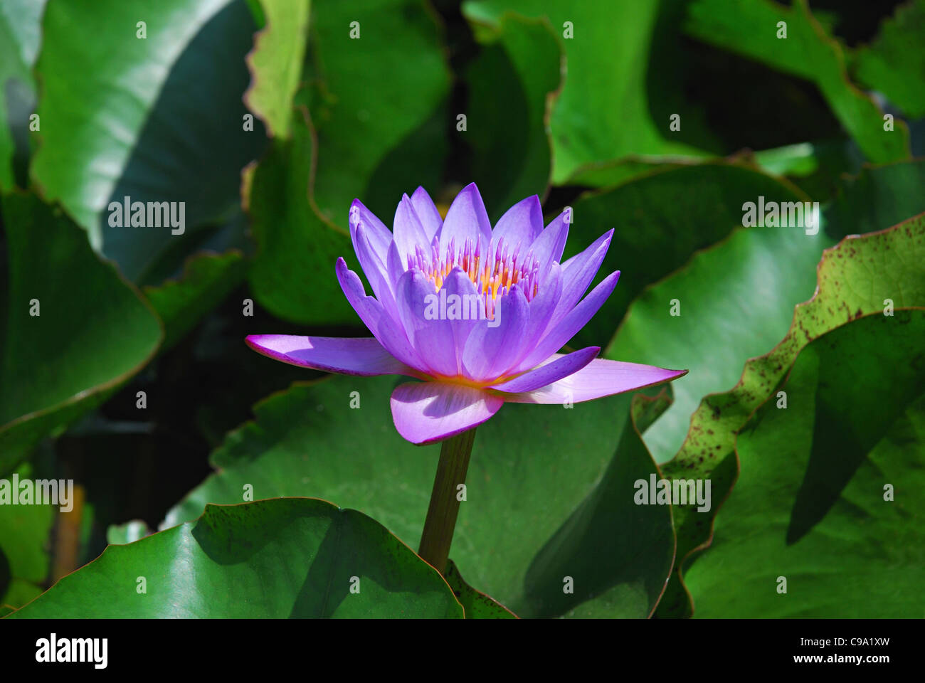 Blue lotus of india stock photos blue lotus of india stock purple lotus sacred lotus nelumbo nucifera family nelumbonaceae lotus is the national flower dhlflorist Images
