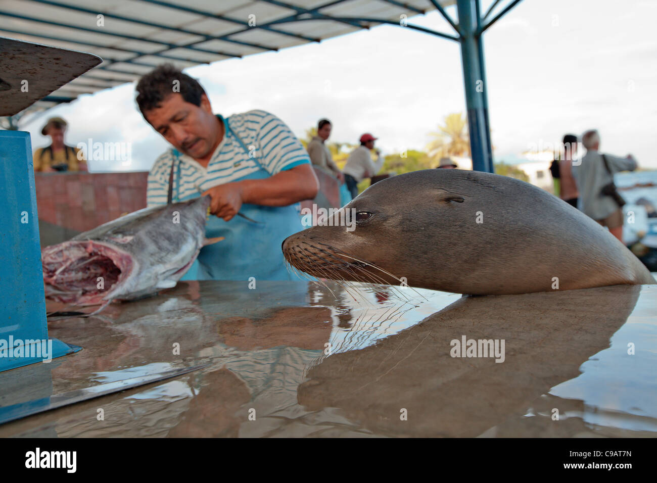 Sea lion begging for food at fish market in puerto ayora for Sea world fish market