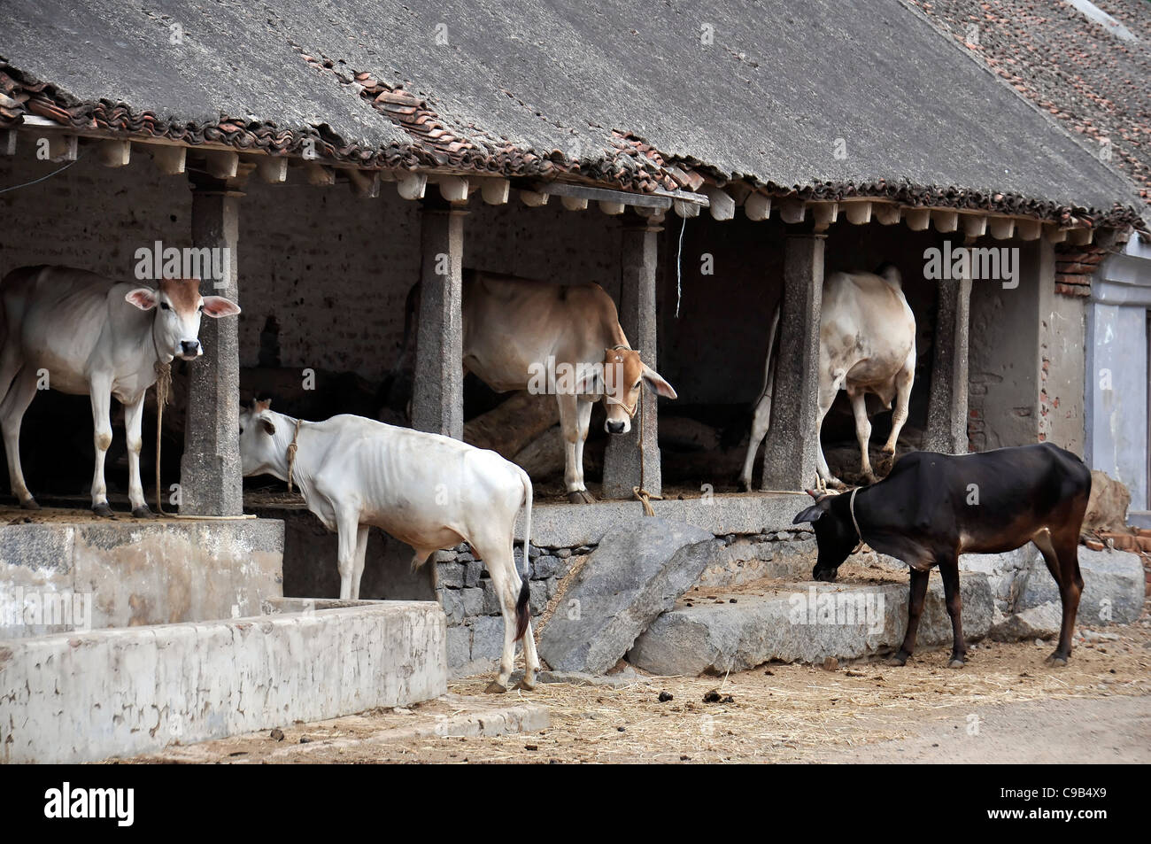 cows animal cattle cowshed shed shelter rural india stock photo
