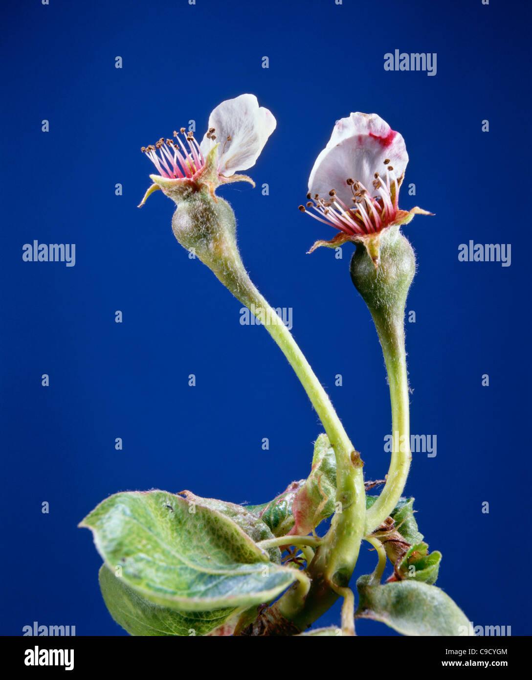 Pear (Pyrus sp.) early fruit development petals drop ...