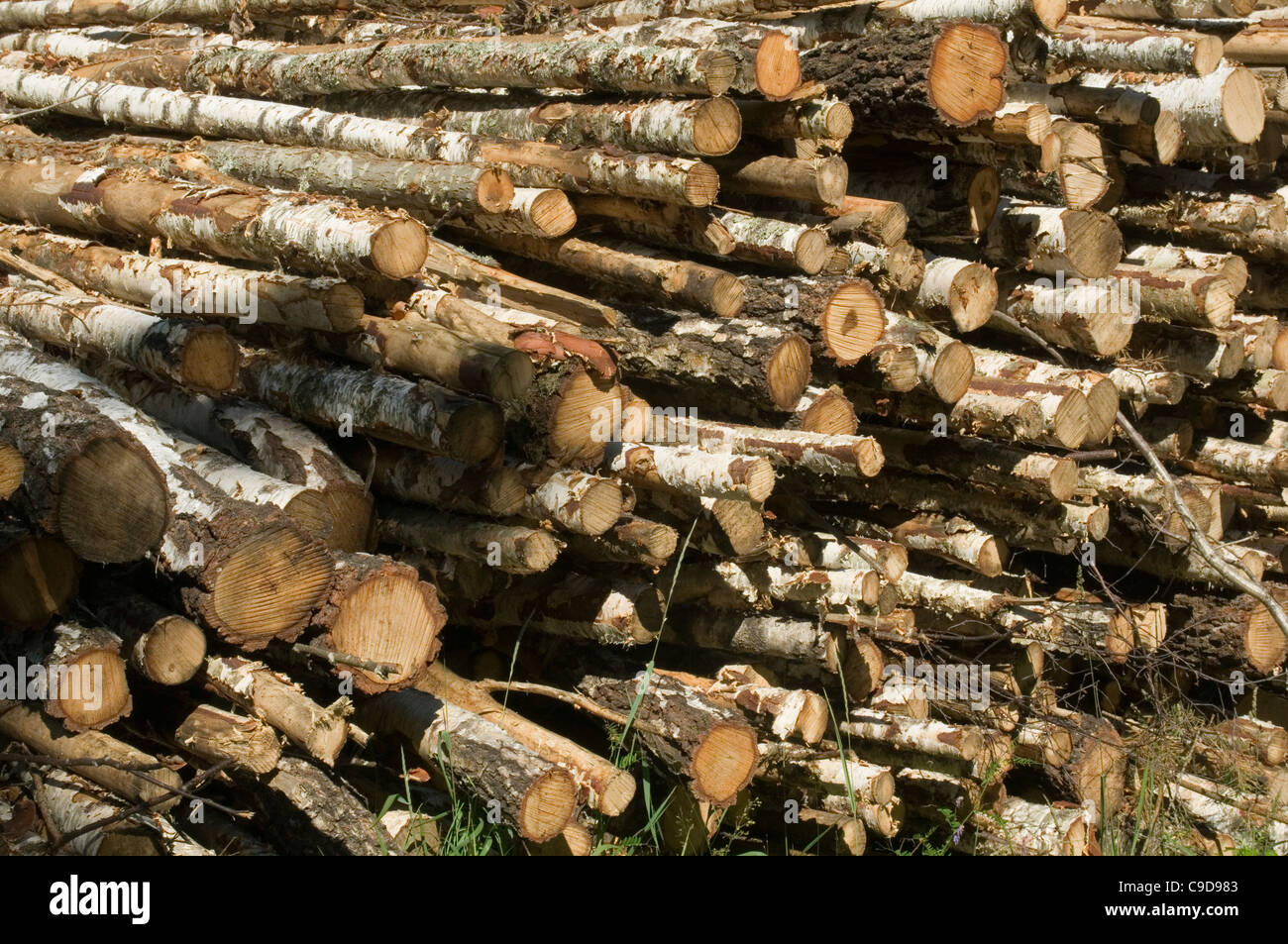 Birch wood log logs forest forestry timber woods tree for What to do with tree logs