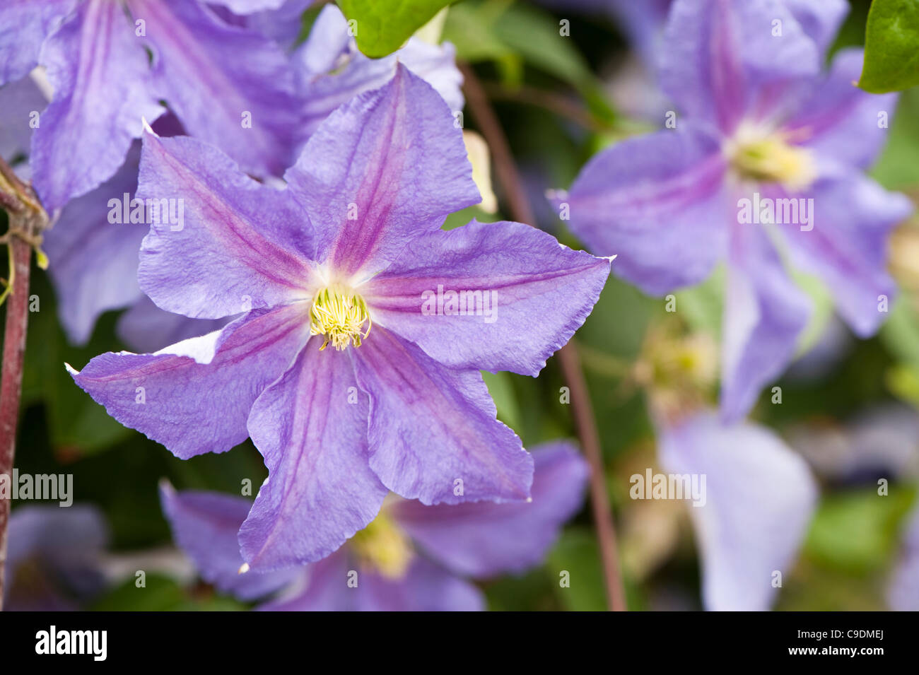 Clematis 'Perle d'Azur' in flower Stock Royalty Free Image