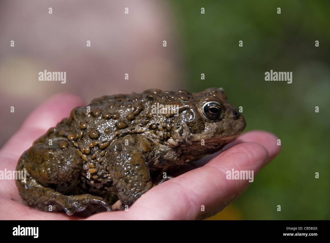 Boreal toad bufo boreas boreas weminuche wilderness colorado usa boreal toad bufo boreas boreas weminuche wilderness colorado usa sciox Image collections