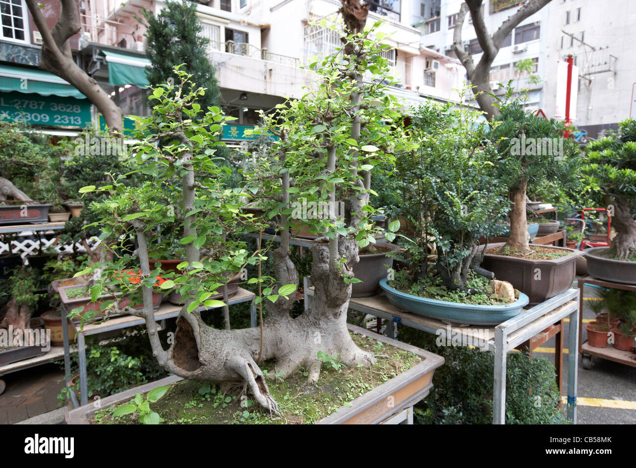 Bonsai trees for sale at the flower market mong kok for Trees for sale