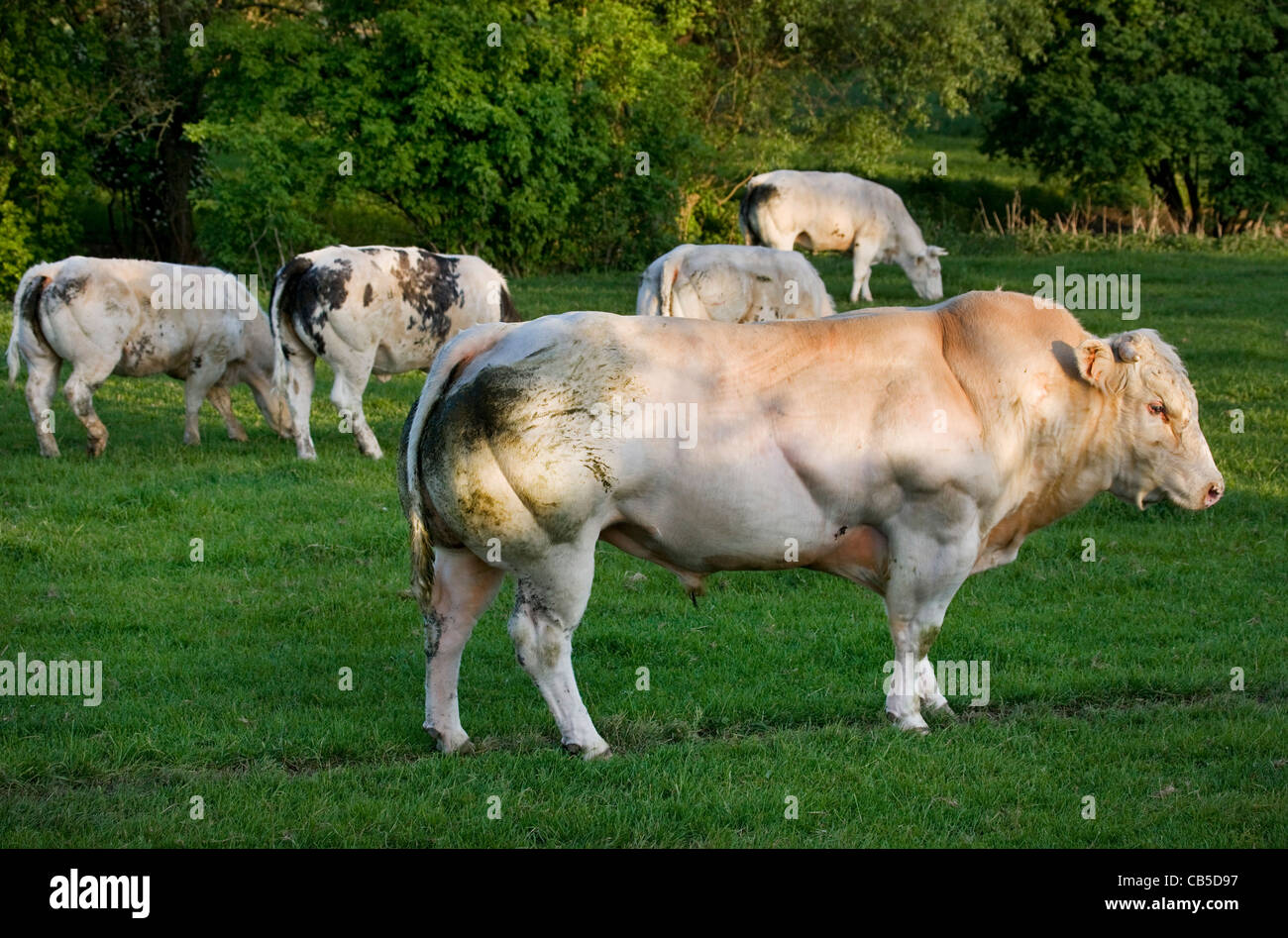 Beefymusclemuscle Com: Muscular Beefy White Bull (Bos Taurus) In Herd In Field