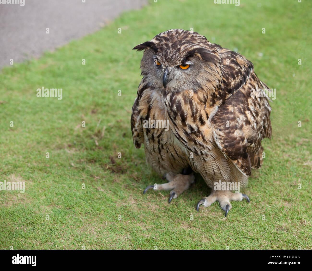 I Hate Mornings! A European Eagle Owl with ruffled ... Ruffled Feathers