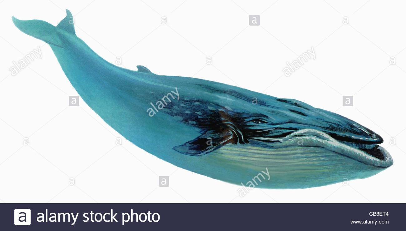 Series fish Blue whale...