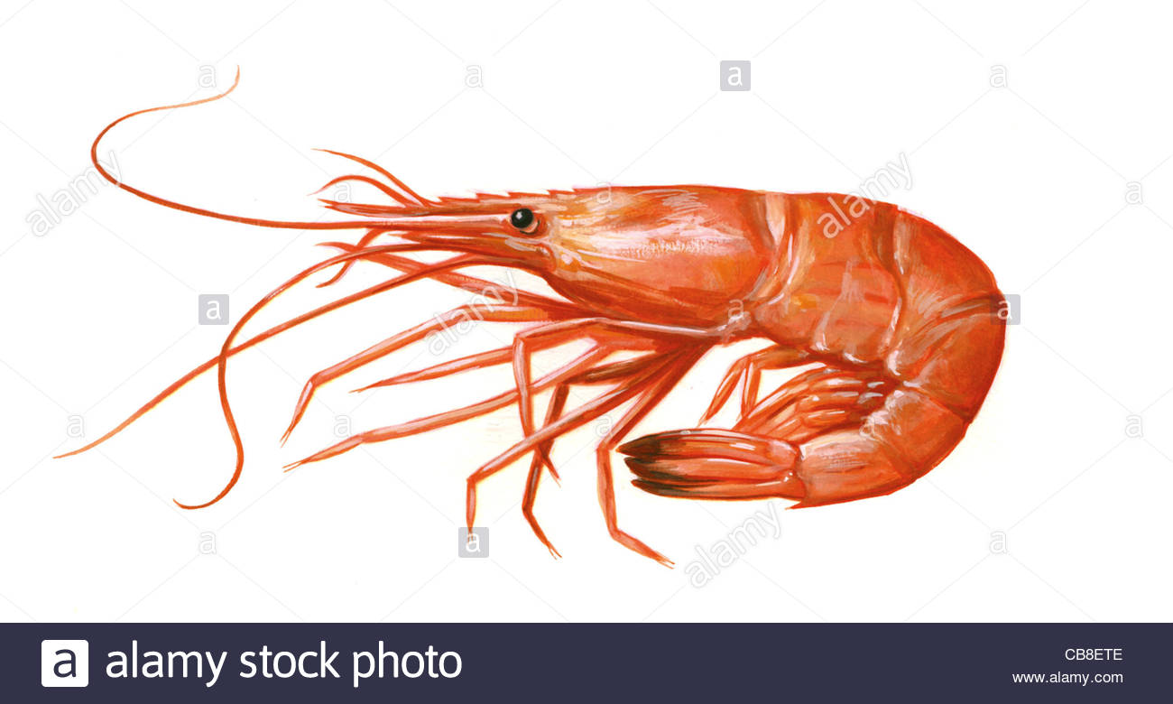 Series fish shrimp cooked palaemon serratus prawn shrimp for Fishing with live shrimp