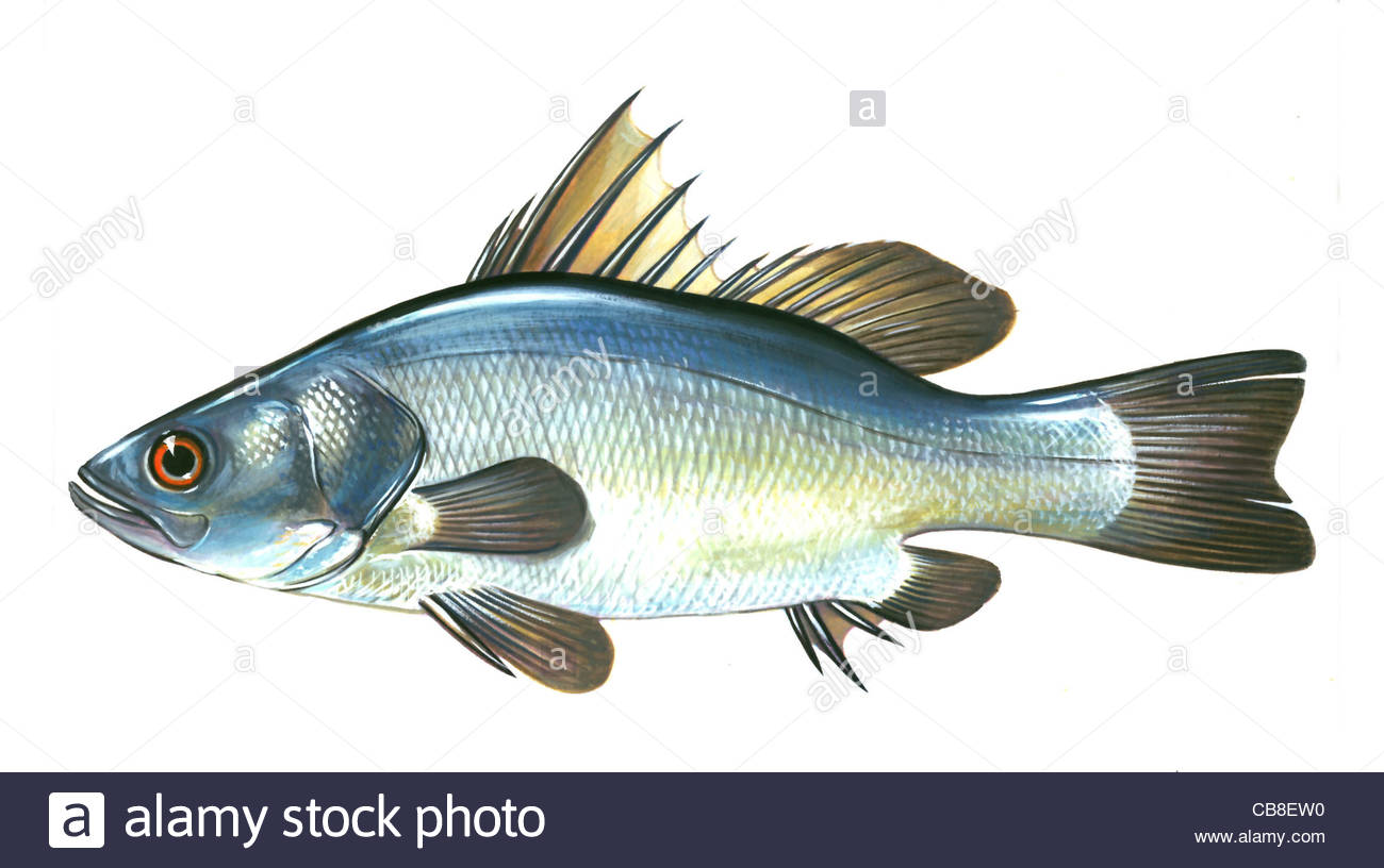 List of Synonyms and Antonyms of the Word: nile fish